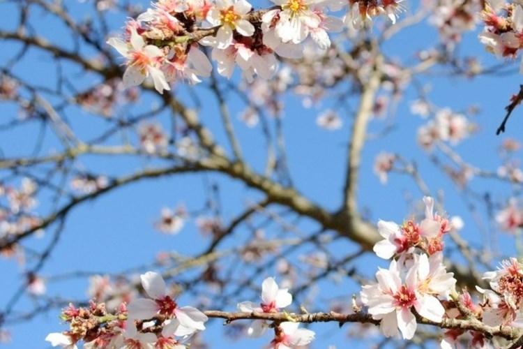 Die Geschichte der Mandelblüte...